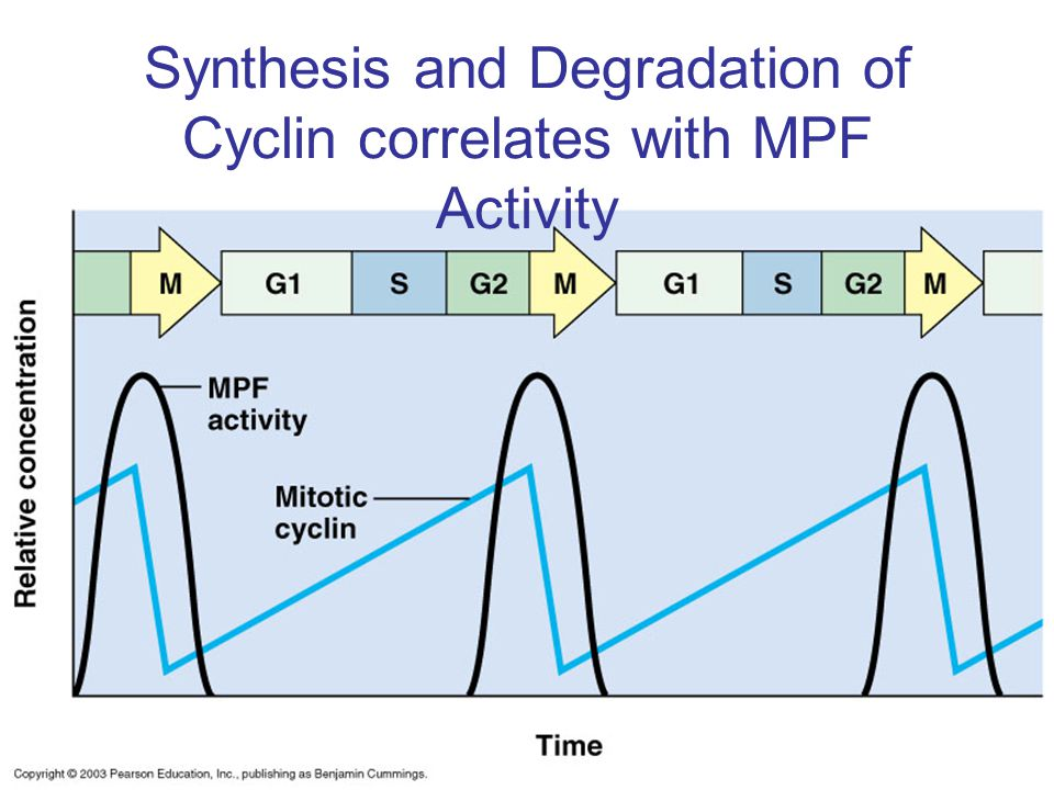 Synthesis and Degradation of Cyclin correlates with MPF Activity