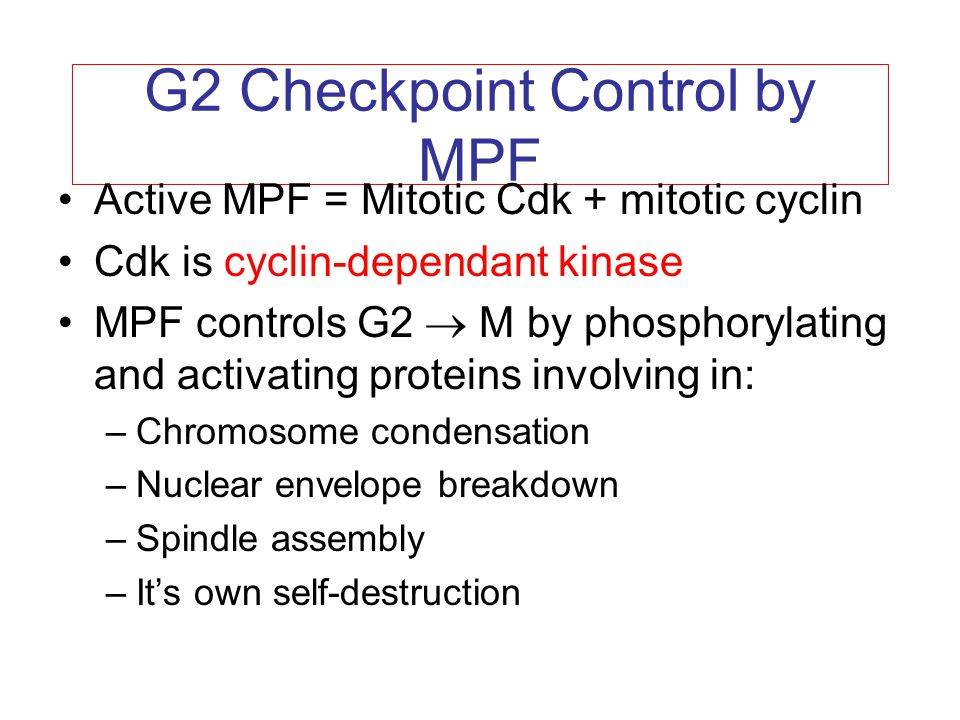 G2 Checkpoint Control by MPF Active MPF = Mitotic Cdk + mitotic cyclin Cdk is cyclin-dependant kinase MPF controls G2  M by phosphorylating and activ