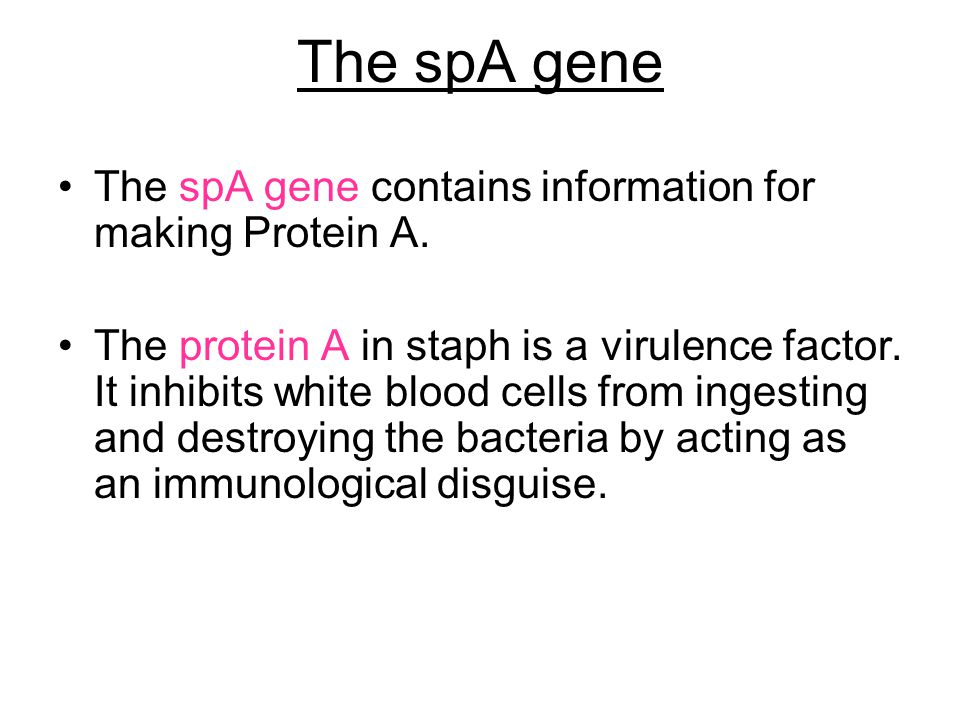 The spA gene The spA gene contains information for making Protein A. The protein A in staph is a virulence factor. It inhibits white blood cells from