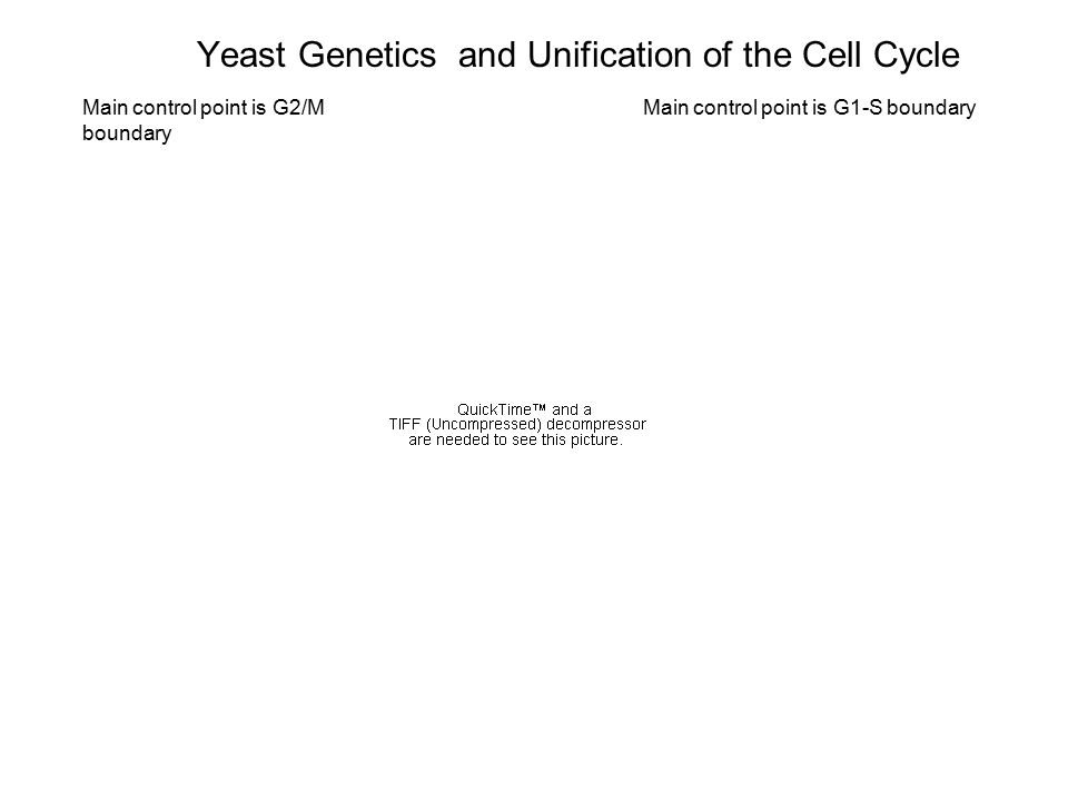 Yeast Genetics and Unification of the Cell Cycle Main control point is G1-S boundaryMain control point is G2/M boundary