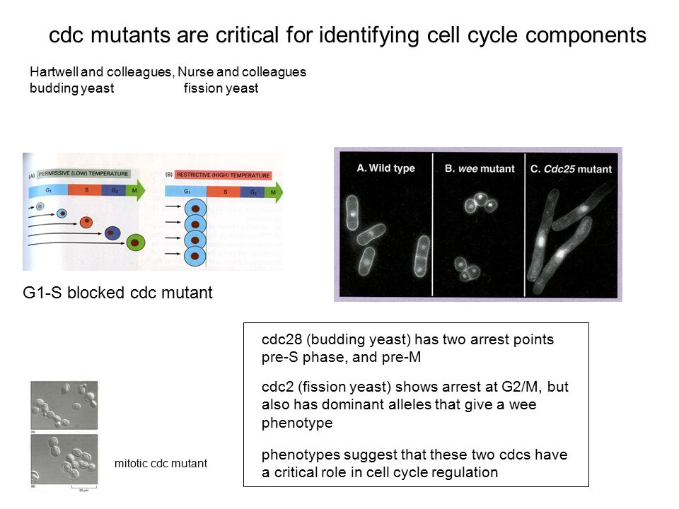 cdc mutants are critical for identifying cell cycle components Hartwell and colleagues, Nurse and colleagues budding yeast fission yeast mitotic cdc m