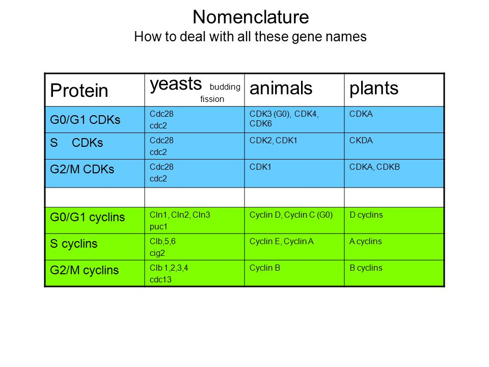 Nomenclature How to deal with all these gene names Protein yeasts budding fission animalsplants G0/G1 CDKs Cdc28 cdc2 CDK3 (G0), CDK4, CDK6 CDKA S CDK