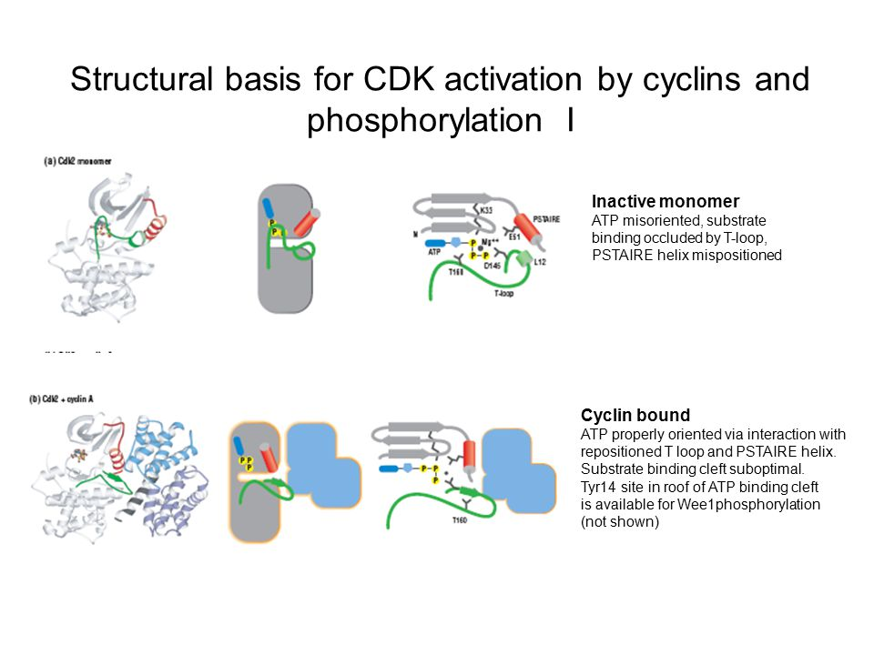 Structural basis for CDK activation by cyclins and phosphorylation I Inactive monomer ATP misoriented, substrate binding occluded by T-loop, PSTAIRE h