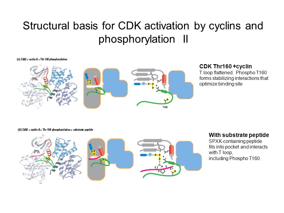 Structural basis for CDK activation by cyclins and phosphorylation II CDK Thr160 +cyclin T loop flattened. Phospho T160 forms stabilizing interactions