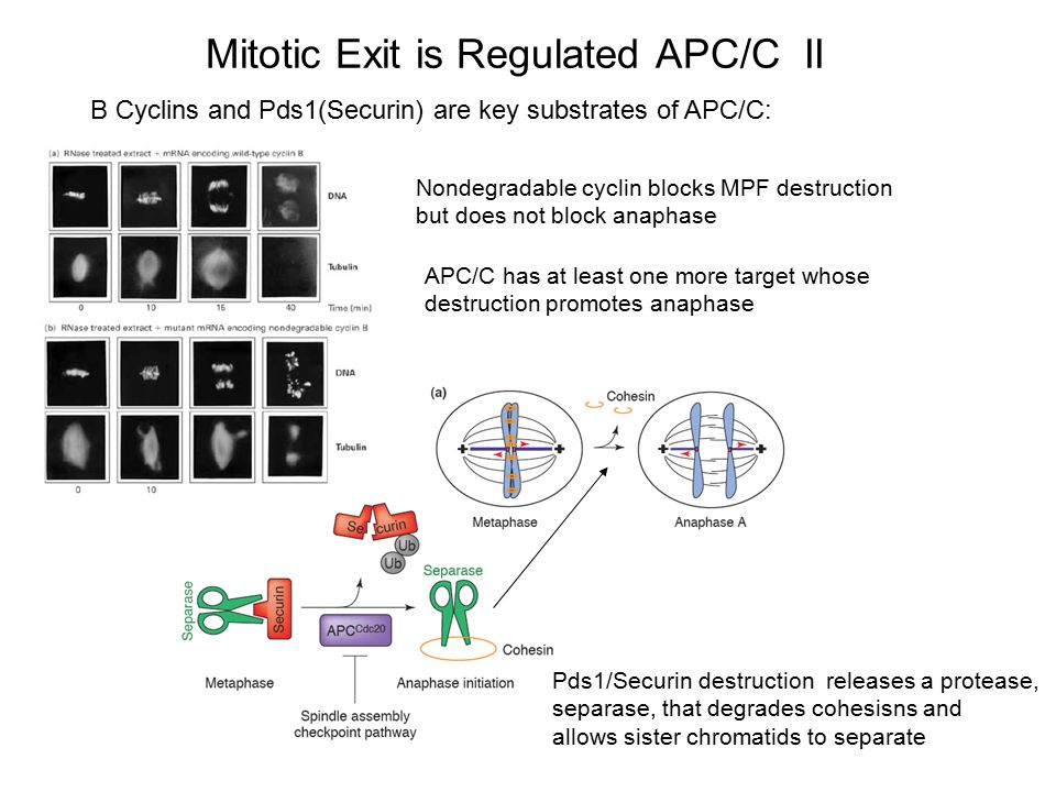 Mitotic Exit is Regulated APC/C II B Cyclins and Pds1(Securin) are key substrates of APC/C: Nondegradable cyclin blocks MPF destruction but does not b