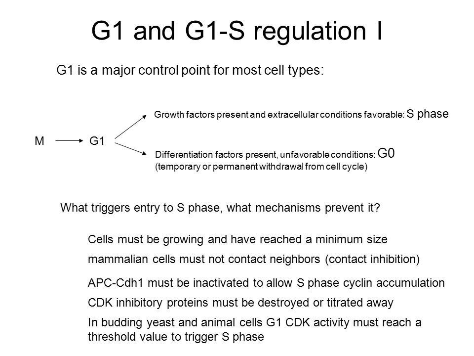 G1 and G1-S regulation I G1 is a major control point for most cell types: Growth factors present and extracellular conditions favorable: S phase Diffe