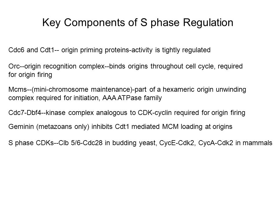 Key Components of S phase Regulation Cdc6 and Cdt1-- origin priming proteins-activity is tightly regulated Orc--origin recognition complex--binds orig