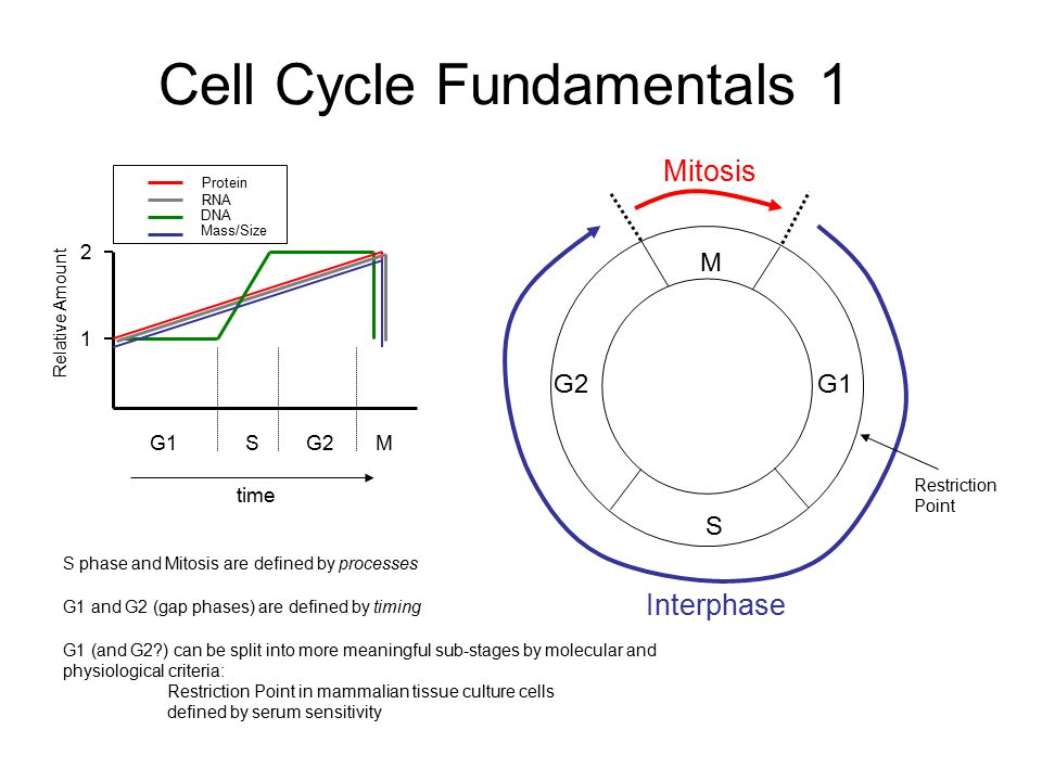 Cell Cycle Fundamentals 1 M G1 S G2 Mitosis Interphase 1 2 G1MG2S Relative Amount time Protein RNA DNA Mass/Size S phase and Mitosis are defined by pr