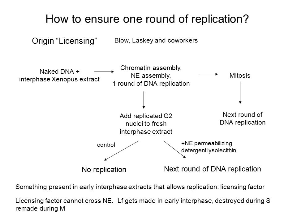 """How to ensure one round of replication? Origin """"Licensing"""" Blow, Laskey and coworkers Naked DNA + interphase Xenopus extract Chromatin assembly, NE as"""