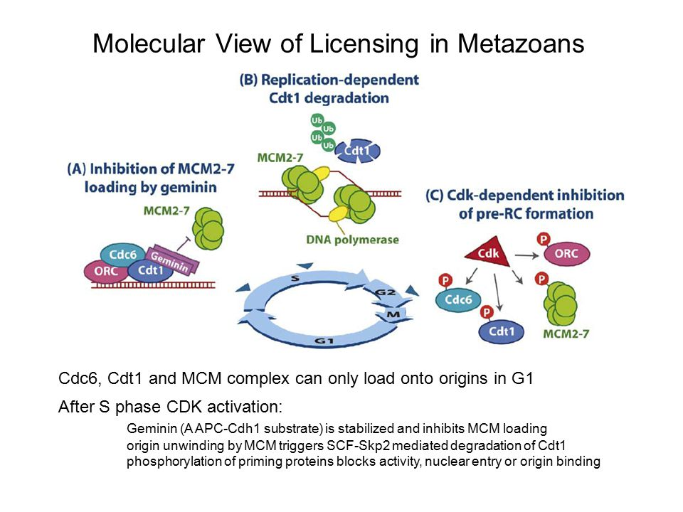 Molecular View of Licensing in Metazoans Cdc6, Cdt1 and MCM complex can only load onto origins in G1 After S phase CDK activation: Geminin (A APC-Cdh1