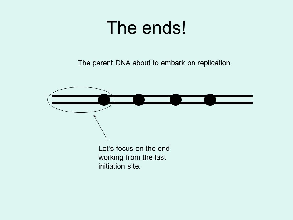 The ends! The parent DNA about to embark on replication Let's focus on the end working from the last initiation site.