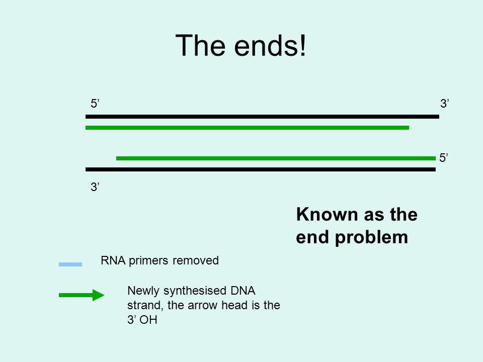 The ends! 3' 5'3' 5' RNA primers removed Newly synthesised DNA strand, the arrow head is the 3' OH Known as the end problem