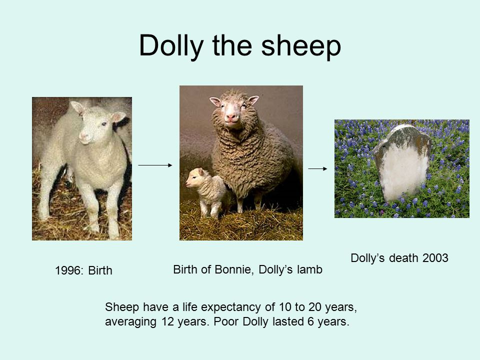 1996: Birth Birth of Bonnie, Dolly's lamb Dolly's death 2003 Sheep have a life expectancy of 10 to 20 years, averaging 12 years. Poor Dolly lasted 6 y