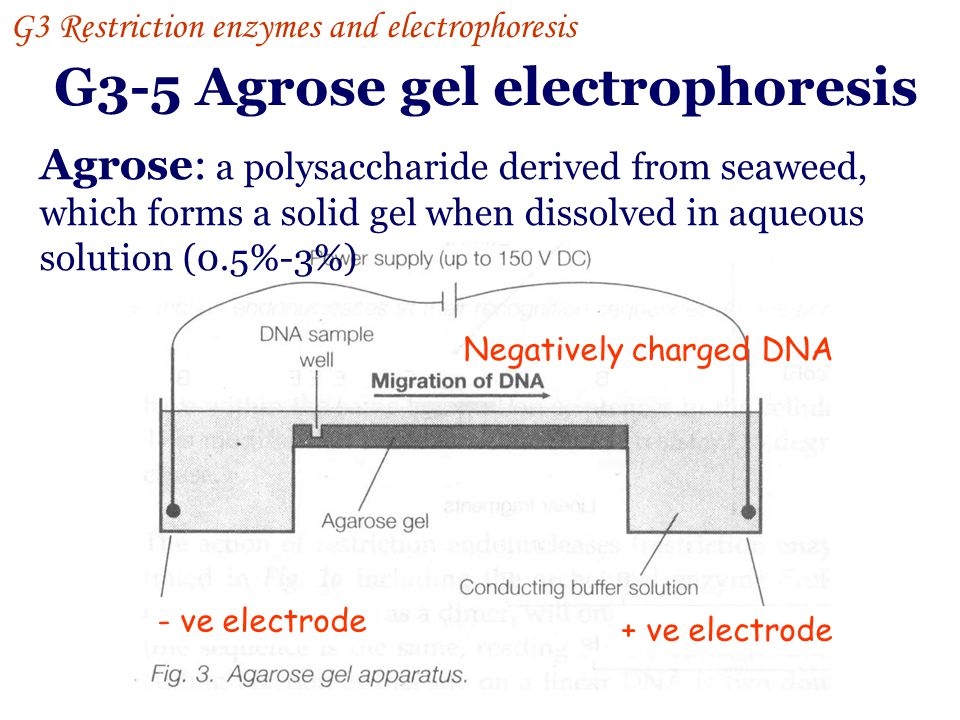 G3-4 Restriction digestion G3 Restriction enzymes and electrophoresis