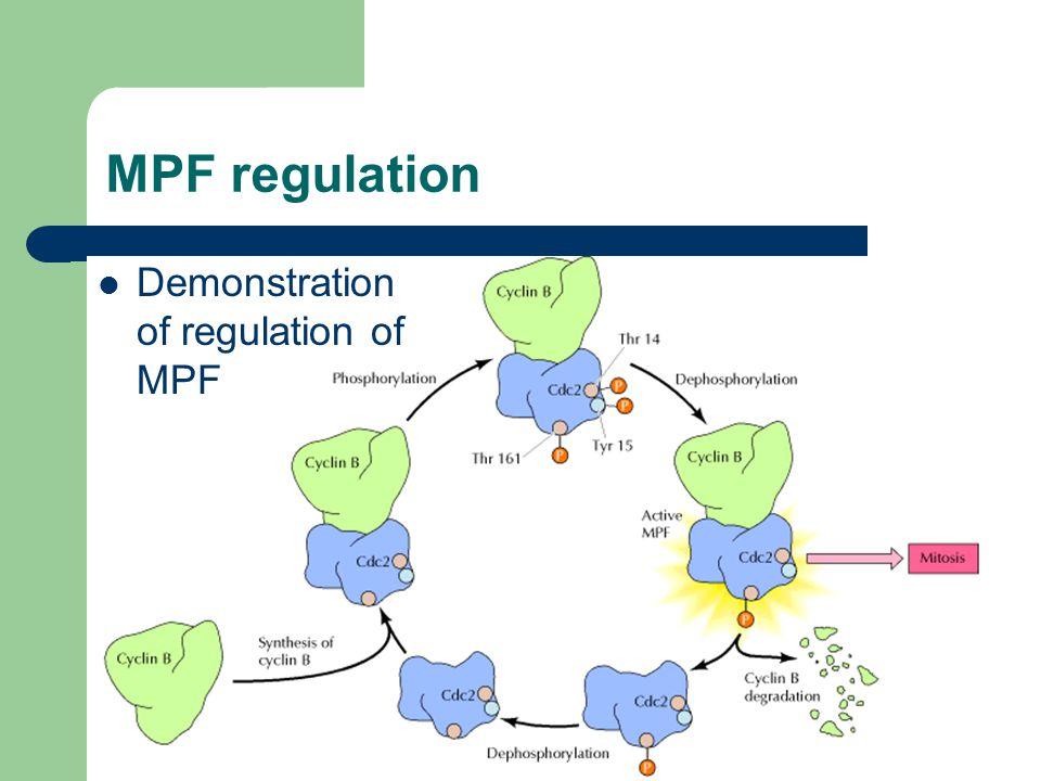 MPF regulation Demonstration of regulation of MPF