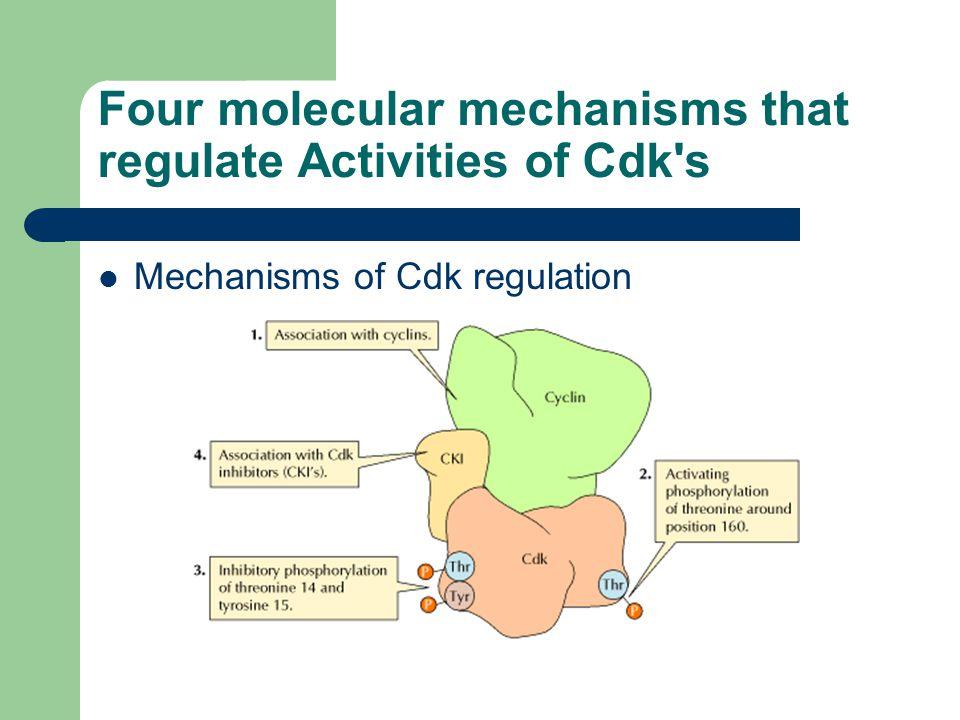 Four molecular mechanisms that regulate Activities of Cdk's Mechanisms of Cdk regulation