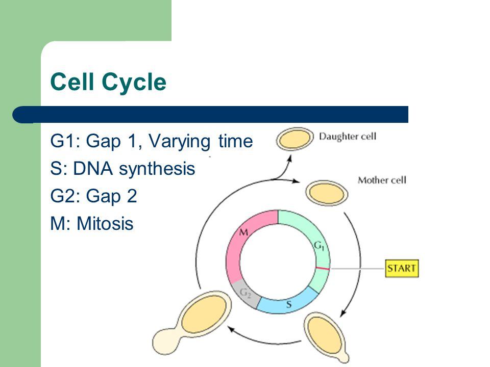 Cell Cycle G1: Gap 1, Varying time S: DNA synthesis G2: Gap 2 M: Mitosis