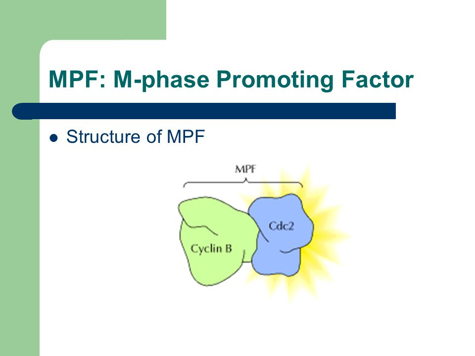 MPF activity is dependent upon Cyclin B The cyclins were identified as proteins that accumulate throughout interphase and are rapidly degraded toward the end of mitosis.