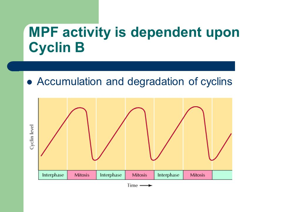 MPF regulation Cdc2 forms complexes with cyclin B during S and G2.