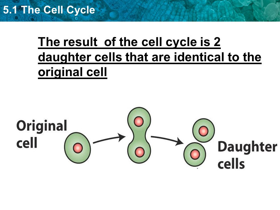 5.1 The Cell Cycle The result of the cell cycle is 2 daughter cells that are identical to the original cell