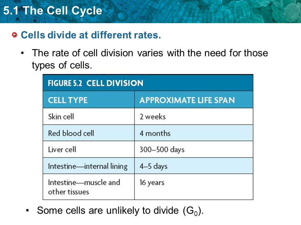 5.1 The Cell Cycle Cells divide at different rates. The rate of cell division varies with the need for those types of cells. Some cells are unlikely t
