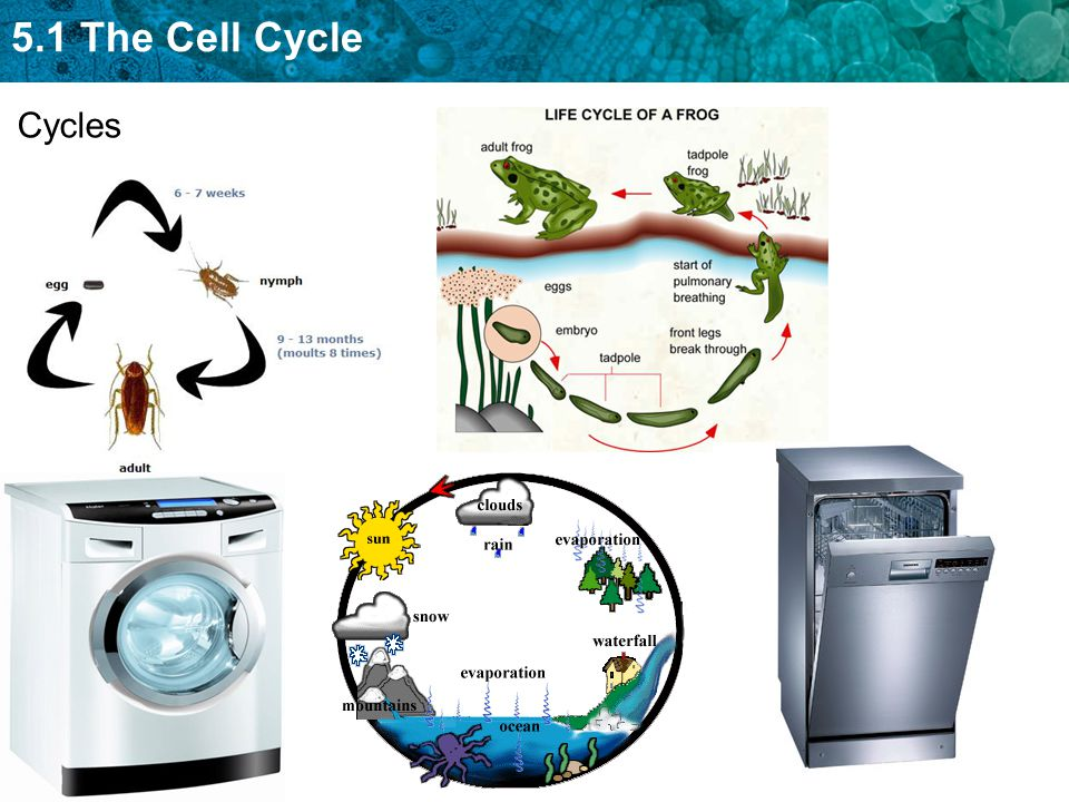 5.1 The Cell Cycle Cycles