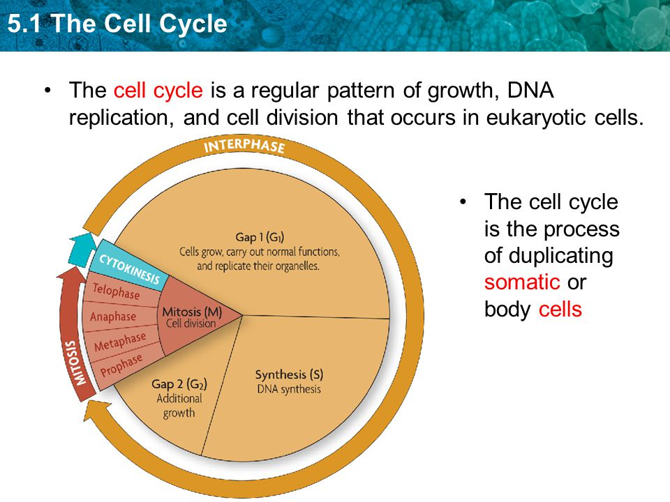 5.1 The Cell Cycle The cell cycle is a regular pattern of growth, DNA replication, and cell division that occurs in eukaryotic cells.