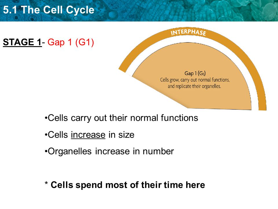5.1 The Cell Cycle Cells carry out their normal functions Cells increase in size Organelles increase in number * Cells spend most of their time here STAGE 1- Gap 1 (G1)
