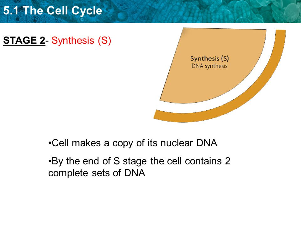 5.1 The Cell Cycle Cell makes a copy of its nuclear DNA By the end of S stage the cell contains 2 complete sets of DNA STAGE 2- Synthesis (S)