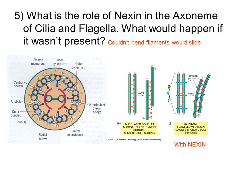 5) What is the role of Nexin in the Axoneme of Cilia and Flagella.