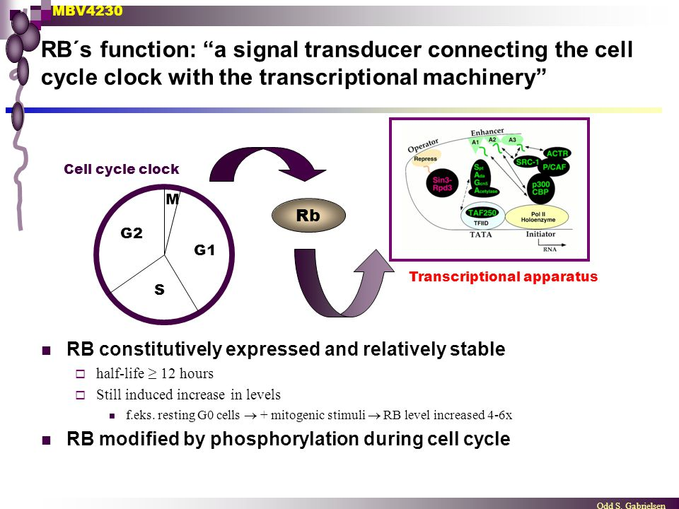 """MBV4230 Odd S. Gabrielsen RB´s function: """"a signal transducer connecting the cell cycle clock with the transcriptional machinery"""" RB constitutively ex"""