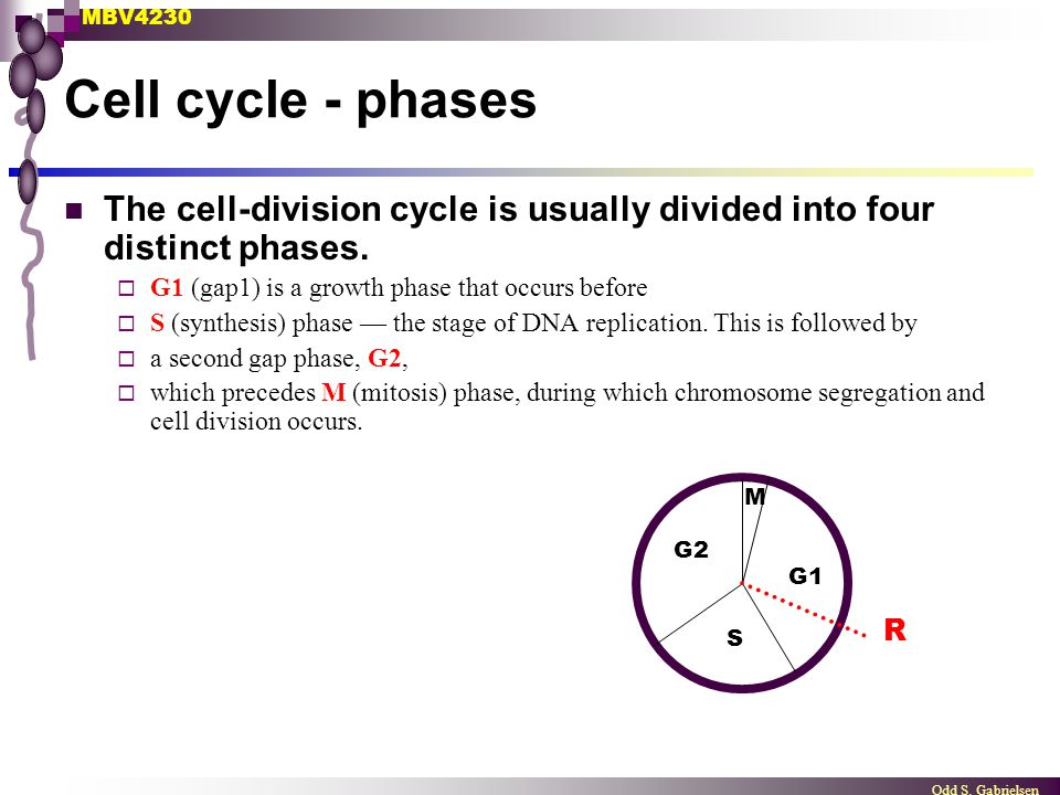 MBV4230 Odd S. Gabrielsen Cell cycle - phases The cell-division cycle is usually divided into four distinct phases.  G1 (gap1) is a growth phase that
