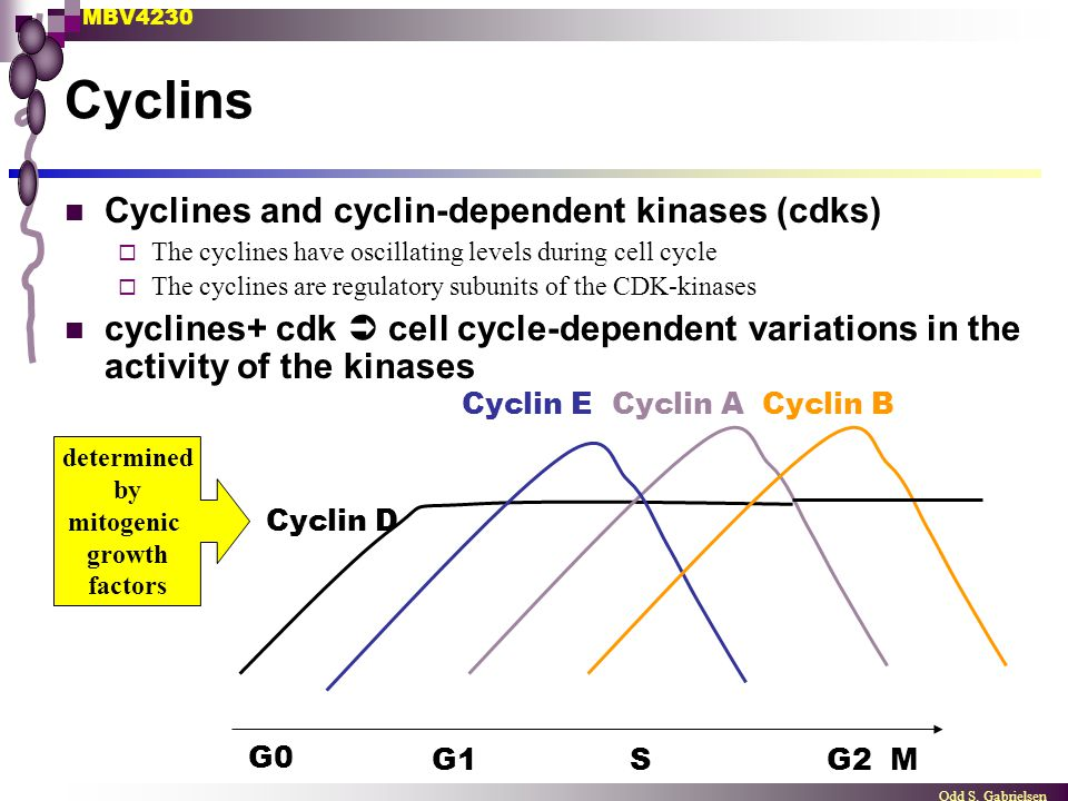 MBV4230 Odd S. Gabrielsen Cyclins G0 G1S G2 M Cyclin D Cyclin ECyclin ACyclin B determined by mitogenic growth factors Cyclines and cyclin-dependent k