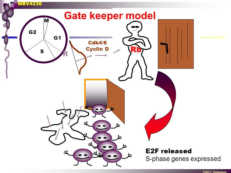 MBV4230 Odd S. Gabrielsen M G1 G2 S R E2F released S-phase genes expressed Rb Cdk4/6 Cyclin D Gate keeper model