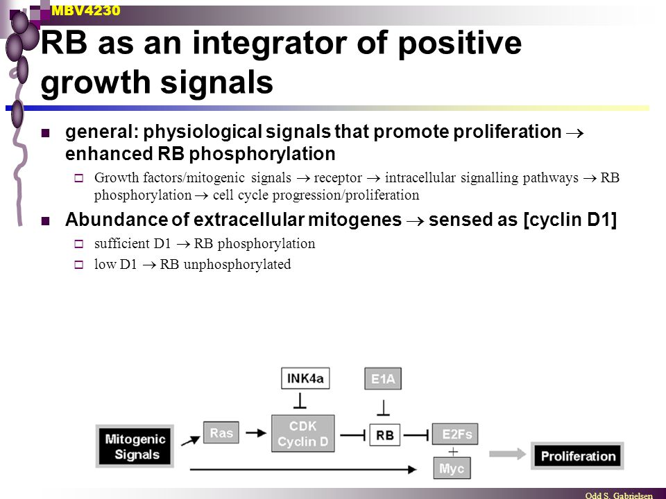 MBV4230 Odd S. Gabrielsen RB as an integrator of positive growth signals general: physiological signals that promote proliferation  enhanced RB phosp