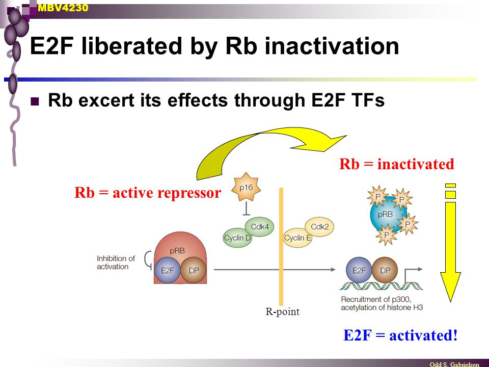MBV4230 Odd S. Gabrielsen E2F liberated by Rb inactivation Rb excert its effects through E2F TFs Rb = active repressor Rb = inactivated R-point E2F =