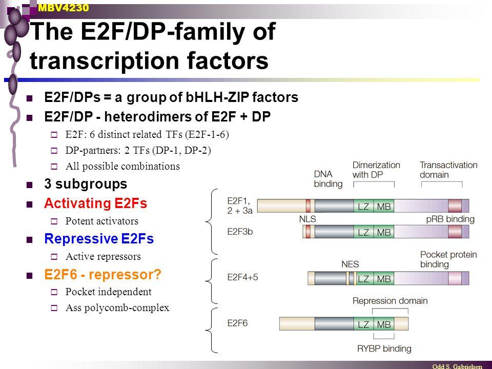 MBV4230 Odd S. Gabrielsen The E2F/DP-family of transcription factors E2F/DPs = a group of bHLH-ZIP factors E2F/DP - heterodimers of E2F + DP  E2F: 6