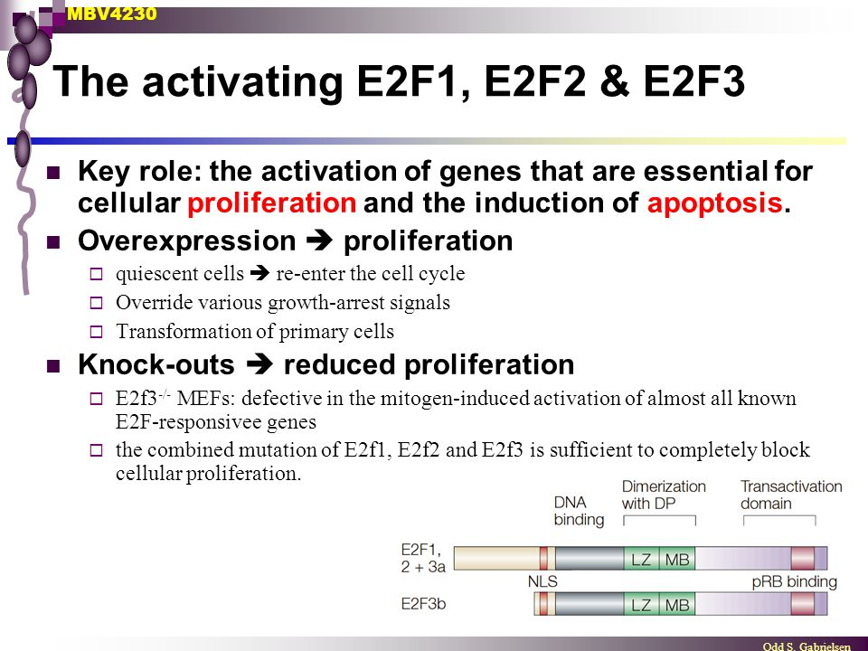 MBV4230 Odd S. Gabrielsen The activating E2F1, E2F2 & E2F3 Key role: the activation of genes that are essential for cellular proliferation and the ind