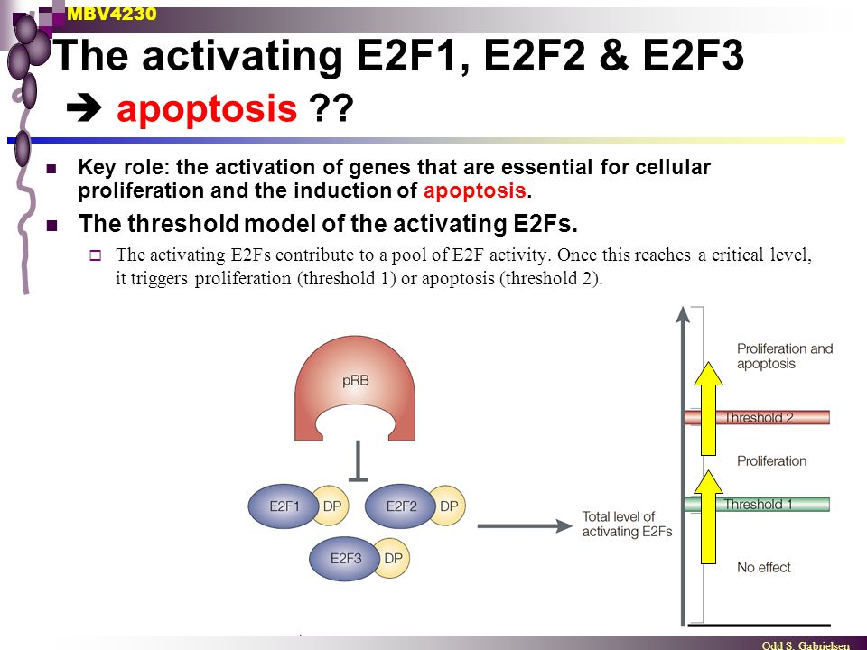 MBV4230 Odd S. Gabrielsen The activating E2F1, E2F2 & E2F3  apoptosis ?? Key role: the activation of genes that are essential for cellular proliferat