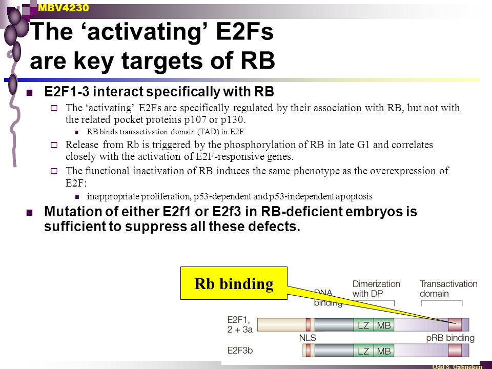 MBV4230 Odd S. Gabrielsen The 'activating' E2Fs are key targets of RB E2F1-3 interact specifically with RB  The 'activating' E2Fs are specifically re