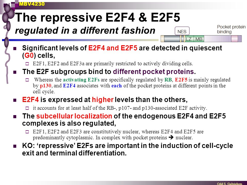 MBV4230 Odd S. Gabrielsen The repressive E2F4 & E2F5 regulated in a different fashion Significant levels of E2F4 and E2F5 are detected in quiescent (G
