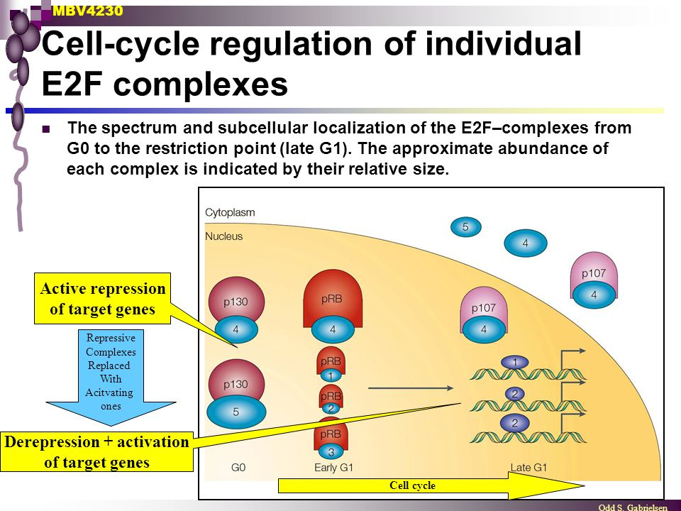 MBV4230 Odd S. Gabrielsen Cell-cycle regulation of individual E2F complexes The spectrum and subcellular localization of the E2F–complexes from G0 to