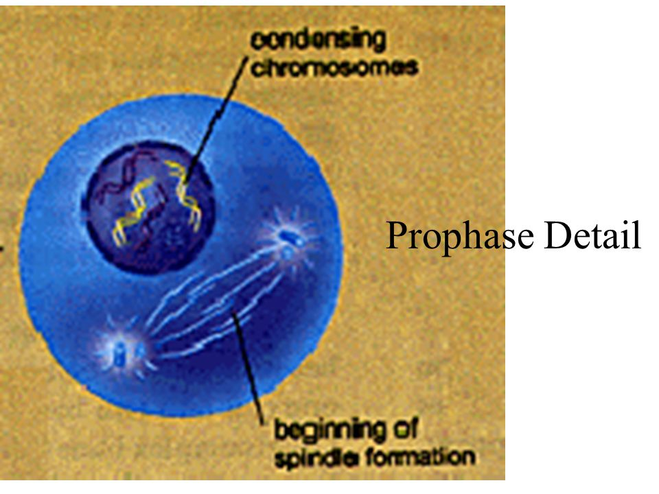 Prophase Detail