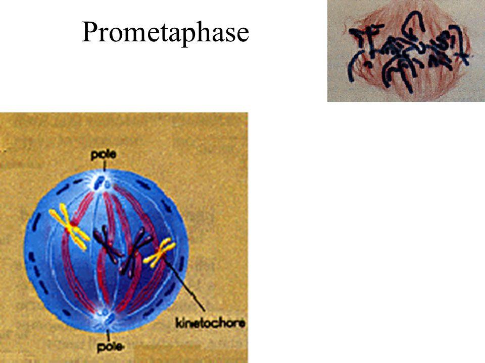 Prometaphase