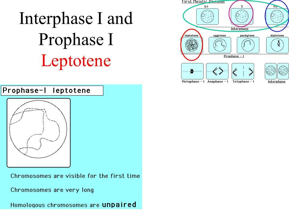 Interphase I and Prophase I Leptotene
