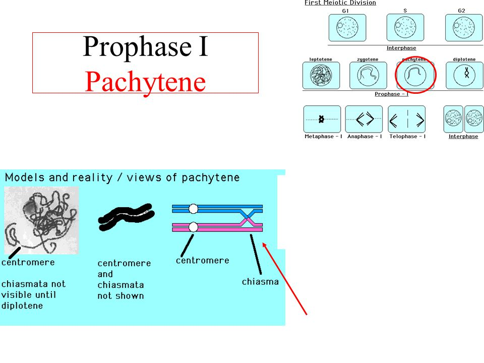 Prophase I Pachytene