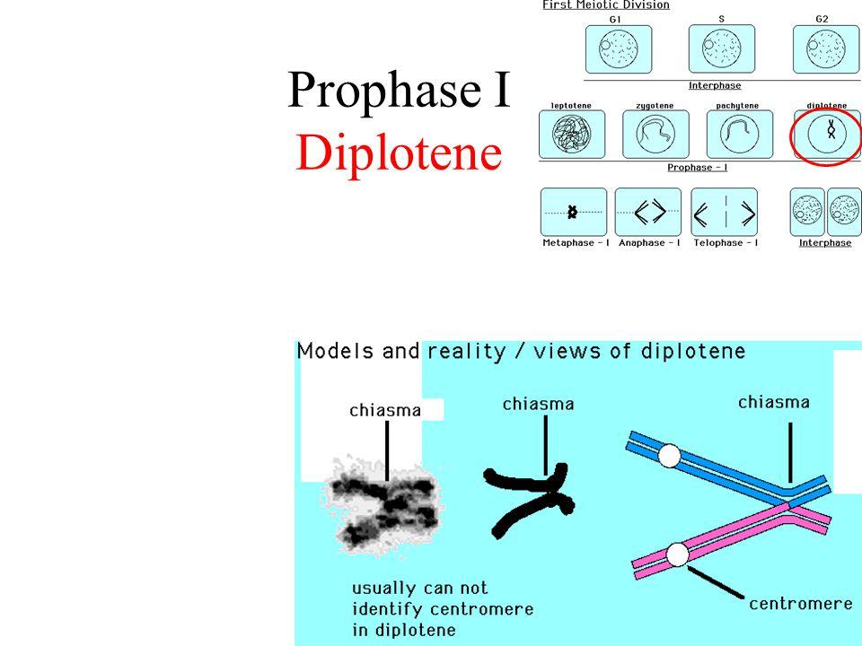 Prophase I Diplotene