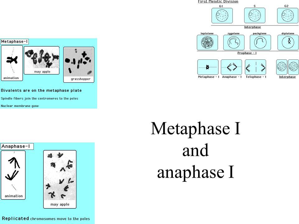Metaphase I and anaphase I