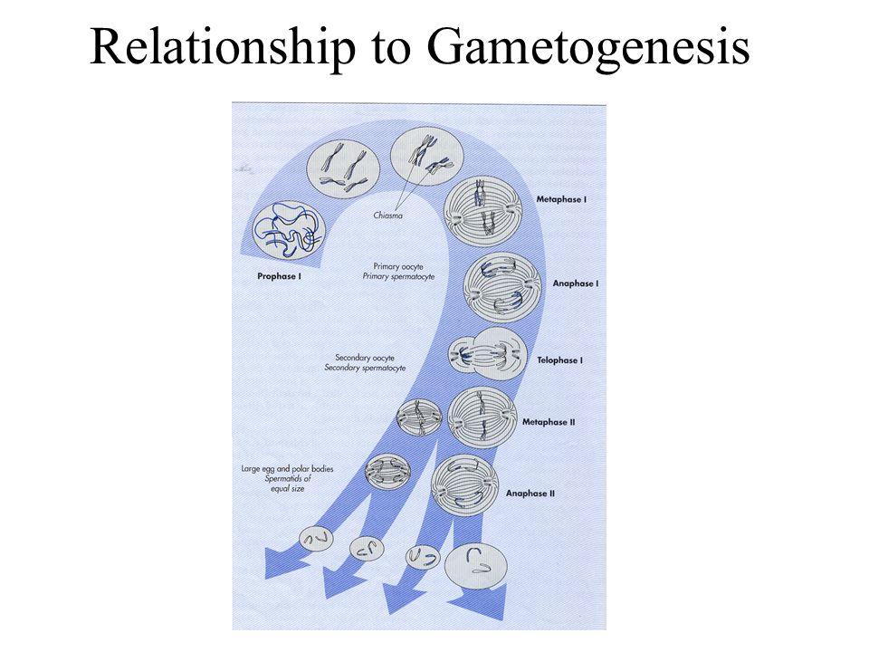 Relationship to Gametogenesis