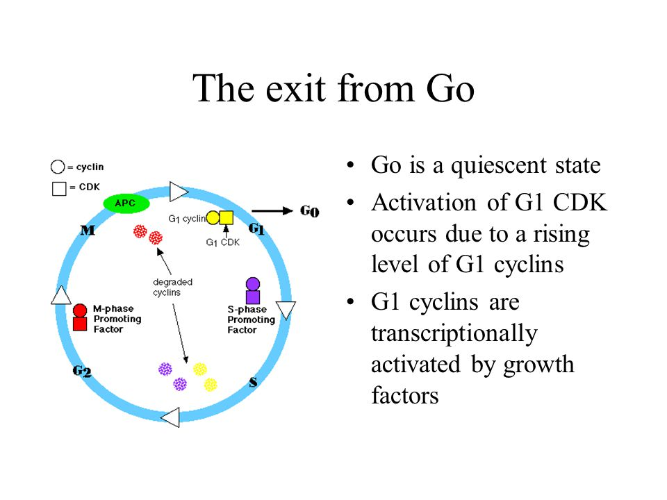 The exit from Go Go is a quiescent state Activation of G1 CDK occurs due to a rising level of G1 cyclins G1 cyclins are transcriptionally activated by